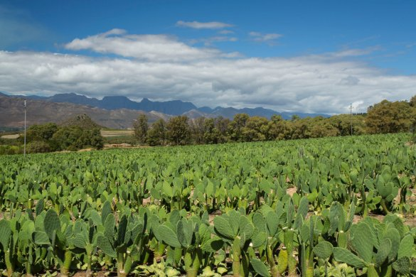 This field of prickly pear bushes is part of a 10ha plantation that will provide feedstock for an anaerobic bio-digester, which will make Backsberg Wine Estate energy self-sufficient.