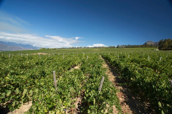 The lyre trellising system, pioneered in Spain, results in more running metres of canopy per hectare, and less running metres of tractor road, which translates into lower fuel consumption.