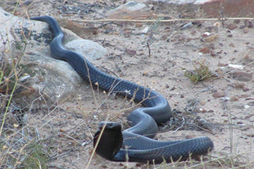 Snakes in the Western Cape