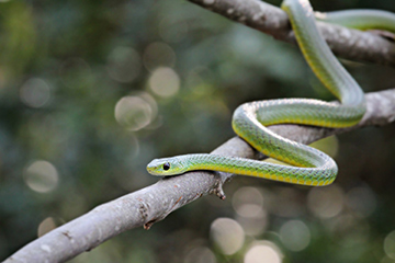 Boomslang snake found in the Western Cape