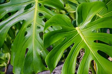 Delicious monster poisonous plant