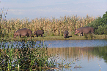 A family of hippos