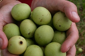 Fruit from the marula tree