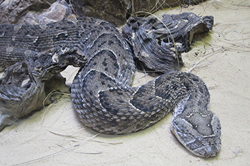 Puff Adder snake found in the Western Cape