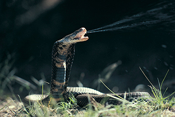 Rinkhals snake found in the Western Cape