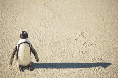 African penguin on beach