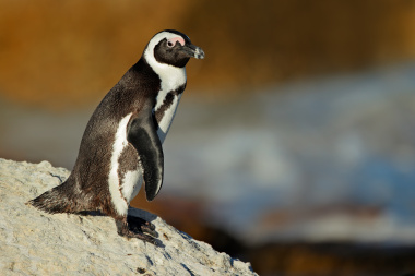 African penguin on rock