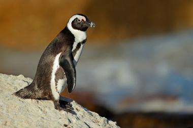 African penguin on rock