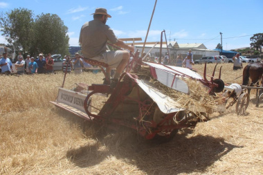 As the donkeys pull the tractor, the wheat gets cut