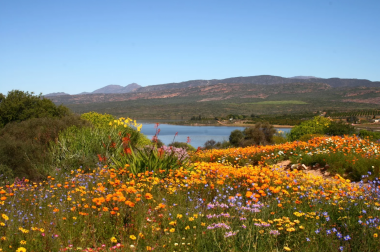 Flowers in the Western Cape