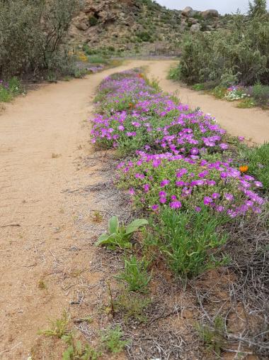 Namakwaland flowers