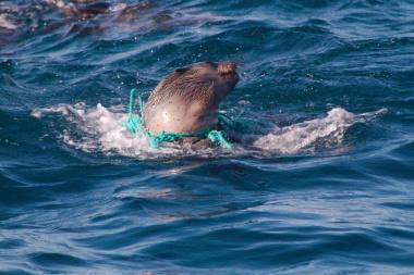 seal caught in plastic pollution