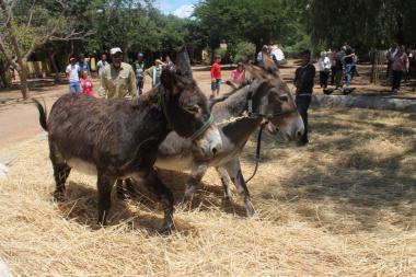 The donkeys threshed the wheat sheaves on the threshing floor