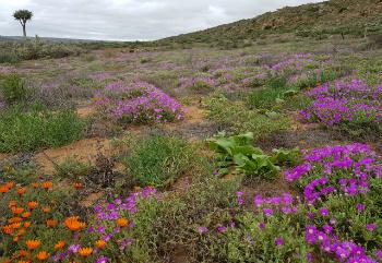Western Cape Flower season