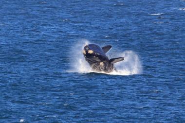 whale at hermanus