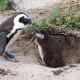 African penguin at nest