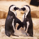 Pair of African penguins