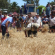 Farmers demonstrating how to cut wheat using a sickle and scythe
