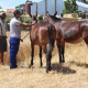 The donkeys getting ready to pull the tractor to cut the wheat