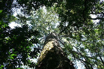 Yellowwood tree Knysna