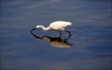 wetlands bird in water
